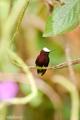 najmenší kolibrík na svete