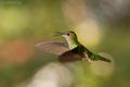 kolibrík bielošijí