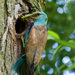 Krakľa belasá ( Coracias garrulu