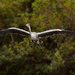 Volavka juhoamerická (Ardea coco