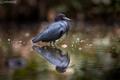 Volavka modrošedá