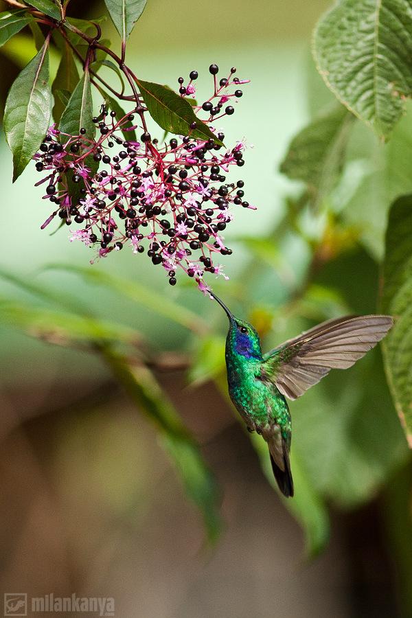 jagavička malachitová