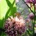 Bzdocha na kvete