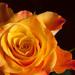 Ohnivá ruža