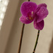 Osprchovana orchidea
