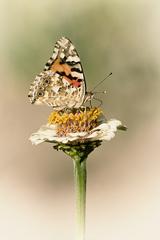 biely kvet...