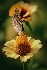 ária o dvoch kvetoch...