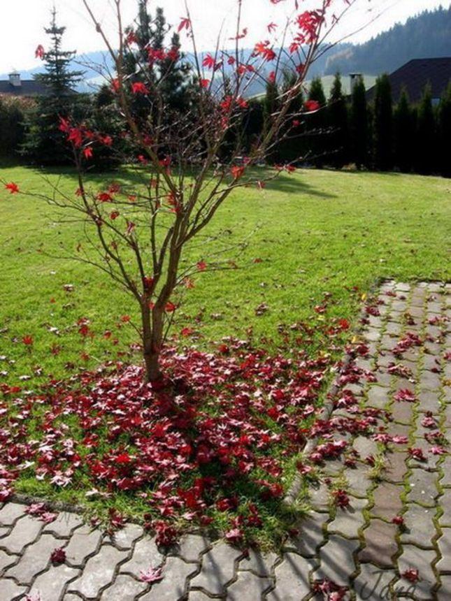 opadnutý červený javor