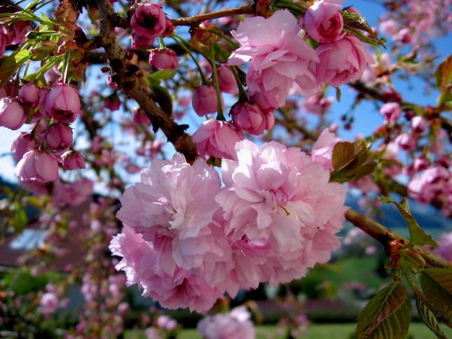 rozkvitnutá sakura