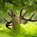 jelen lesny