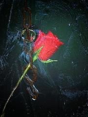 Ľadová ruža