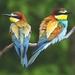 Pohnevaní (Merops apiaster)