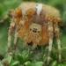 pavúk zB. prhľavový