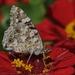 motýľ II