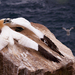 Gannets VI