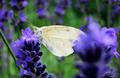 Levanduľový motýľ