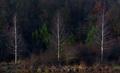tri brezy z brezovej