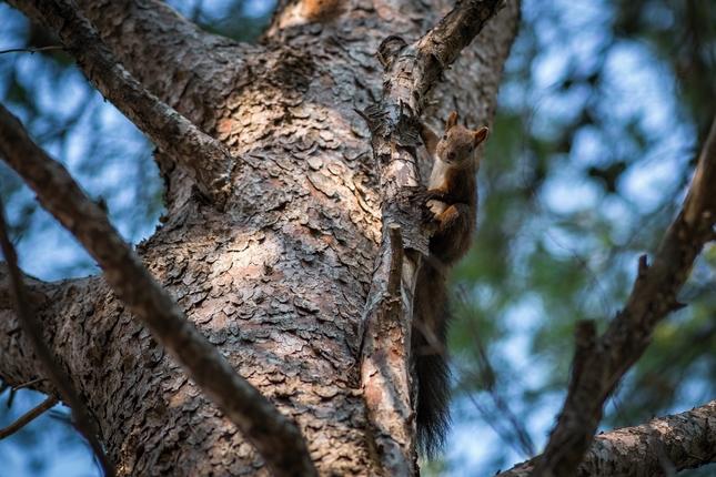stromokocúr