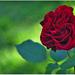 ..ruža..