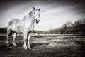 Kôň Motešický monochromatický