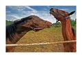 ..hravé kone..
