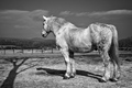 Kôň Motešický monochromatický I