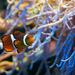 Klaun zdobený  (Amphiprion percu