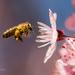 Včela medonosná (Apis mellifera)