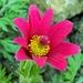 kvetna