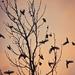 vtáky v tŕní