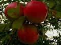 triple apple