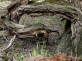 drevene čudeso