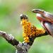 Užovka hladká (Coronella austria