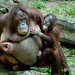 orangutania matka so synom