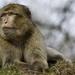 Makak - yeti severnej Afriky