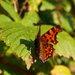 Babôčkovitý motýľ