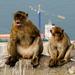 Gibraltarske opice