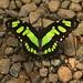 Malachitový motýľ