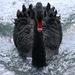 Čierna labuť útočí