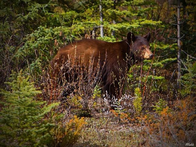 Canadian Wildlife V.