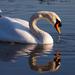 Smädná labuď
