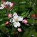 Kvitnúca jabloň