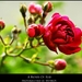 A roses of red