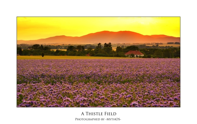 A thistle field