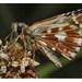 ...motýlik..