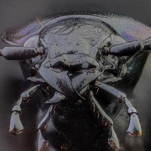 čierny chrobak