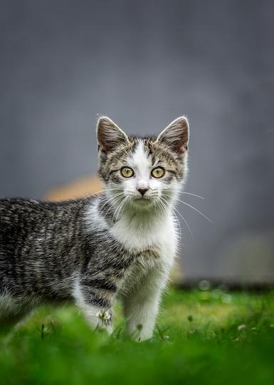 mačka