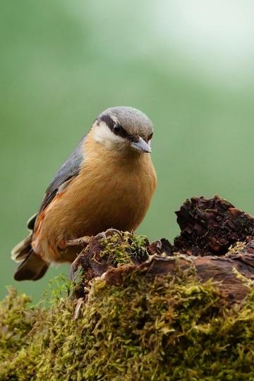 Nutpecker