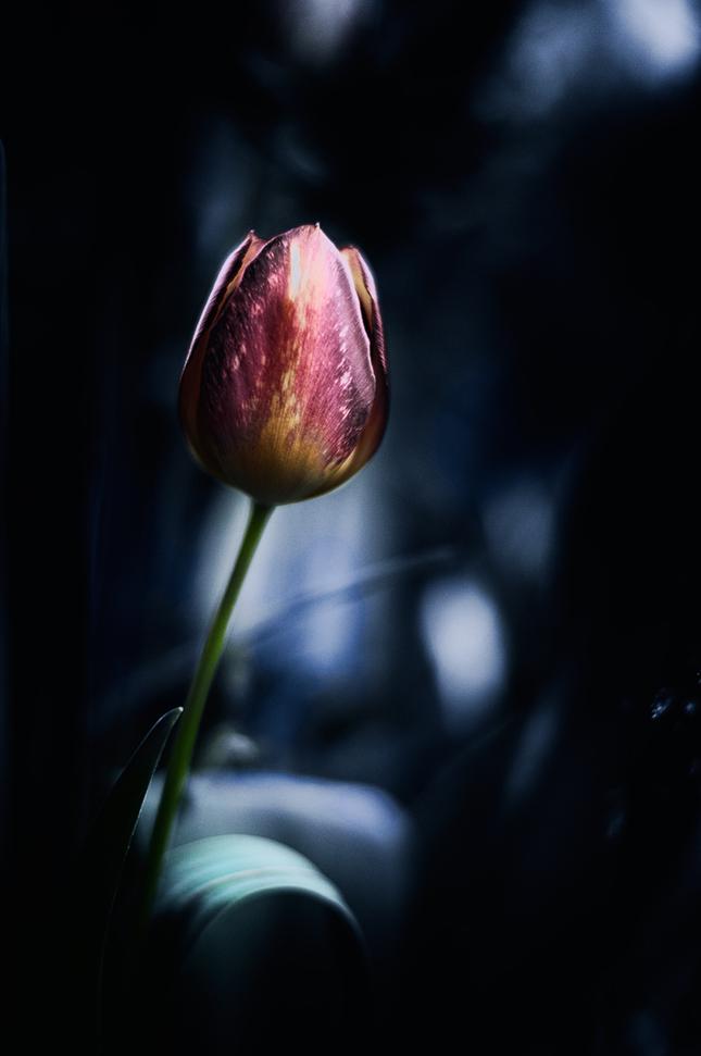O kráse tulipánov...