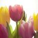 tulipany 4
